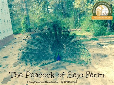 Sajo Farm Peacock